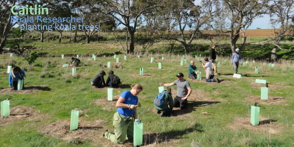 Koala researcher planting trees