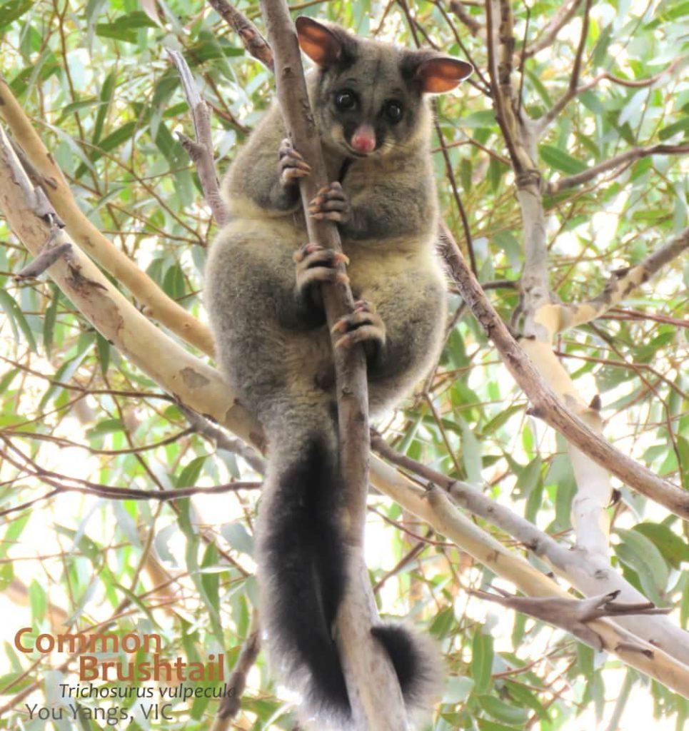 Common Brushtail possum in daylight