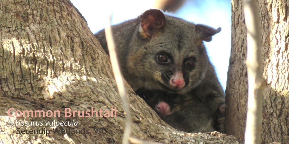 Brushtail possum mother and joey facts