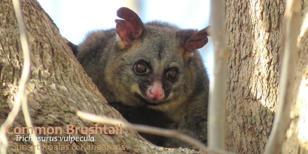 facts Brush-tail possum