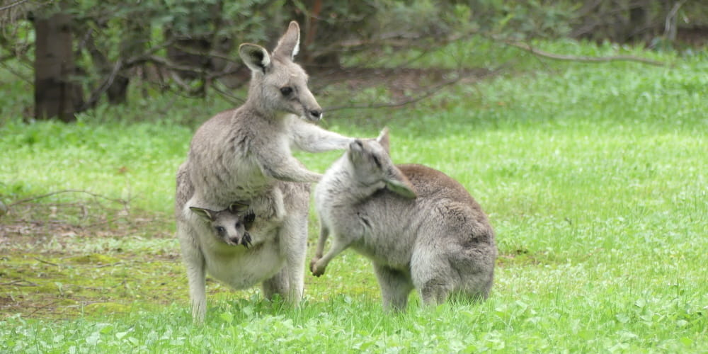 Kangaroo mother and joey playing