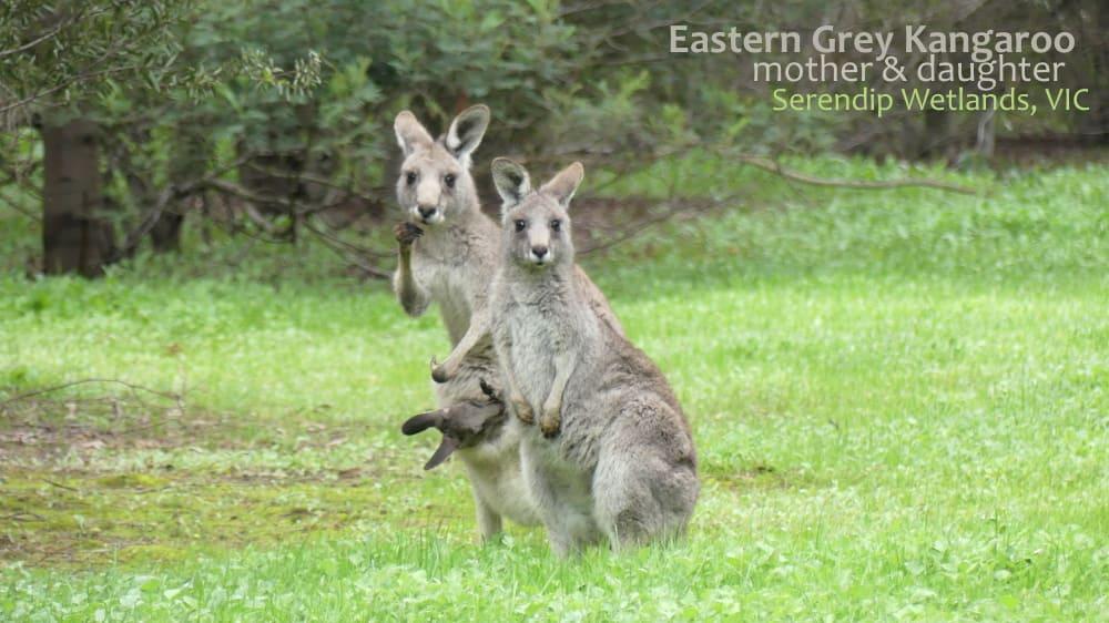 Kangaroo female and independent joey looking at camera