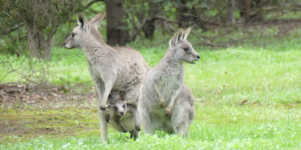 Eastern Grey Kangaroo female and joey
