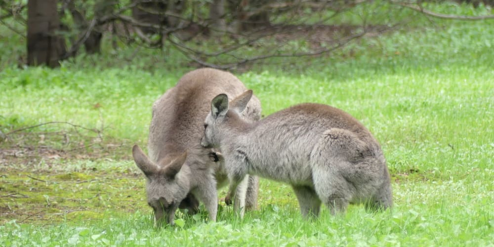 Kangaroo female and daughter interacting