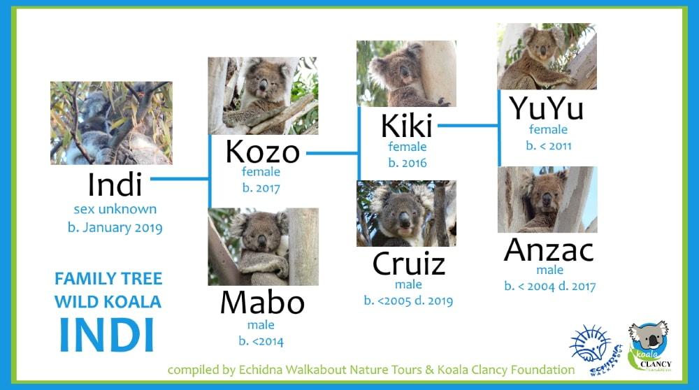 koala joey family tree 2019
