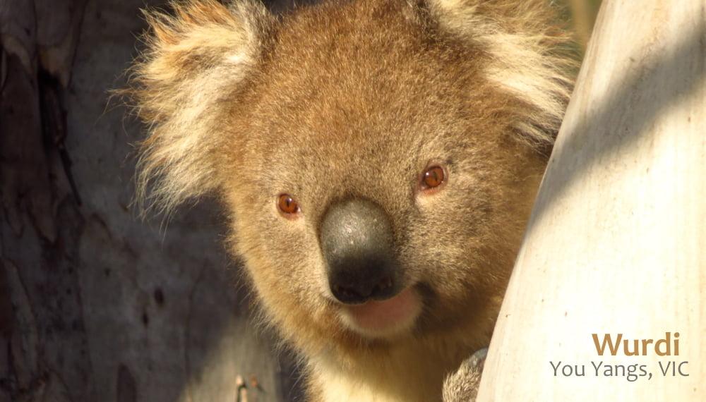 Wild koala in research project