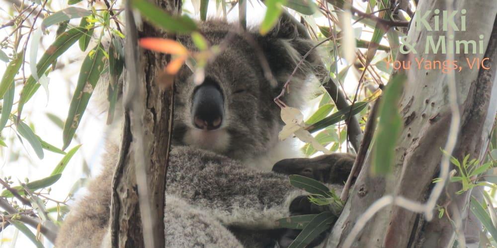 Baby koala Mimi with mother Kiki