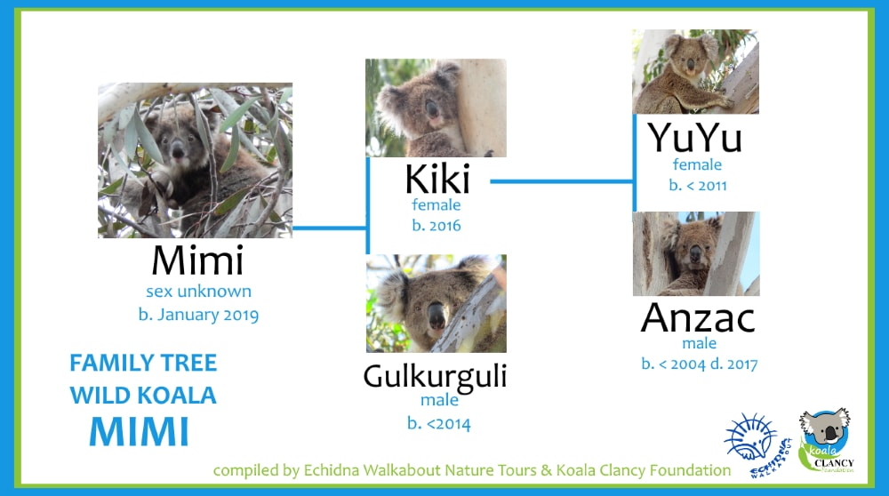 Family tree of a Baby koala in the You Yangs