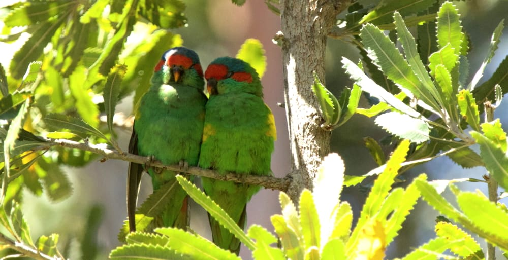 Musk Lorikeets roosting together East Gippsland