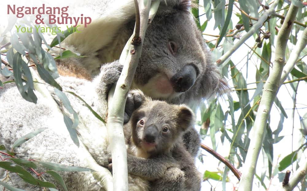 Mother and joey wild koala
