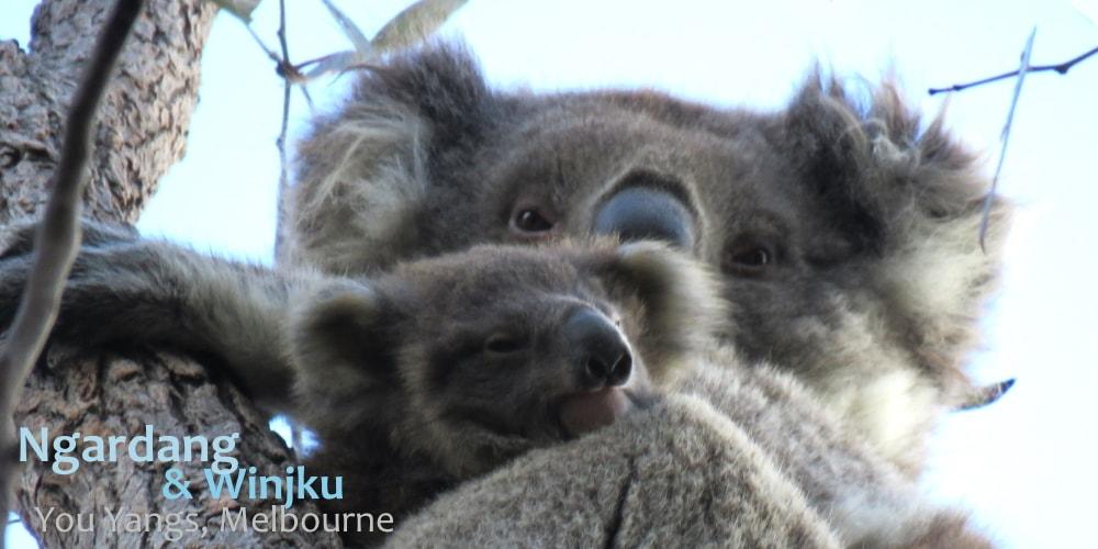 You Yangs baby koalas 2019