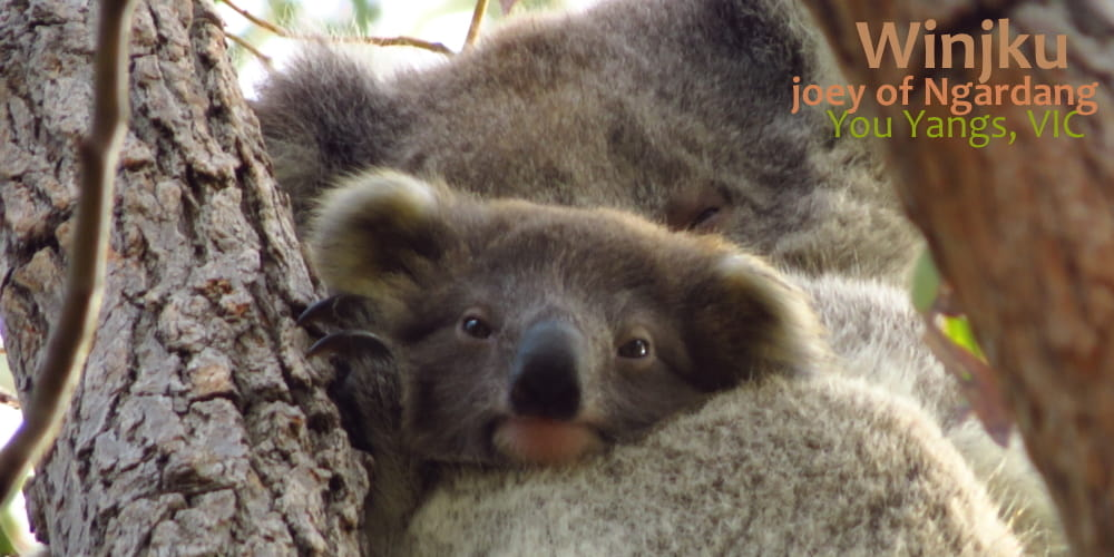 Our new baby koalas of 2019!