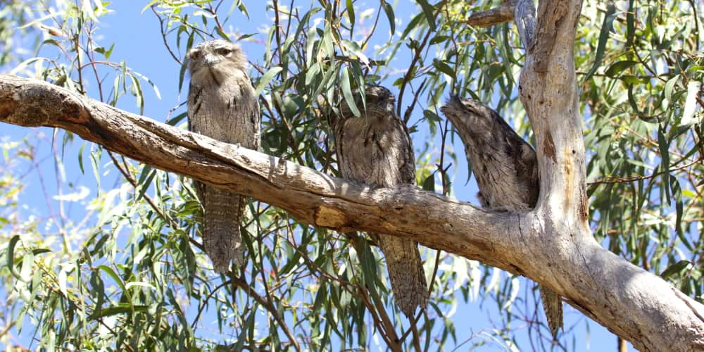 Tawny Frogmouths East Gippsland list of animals