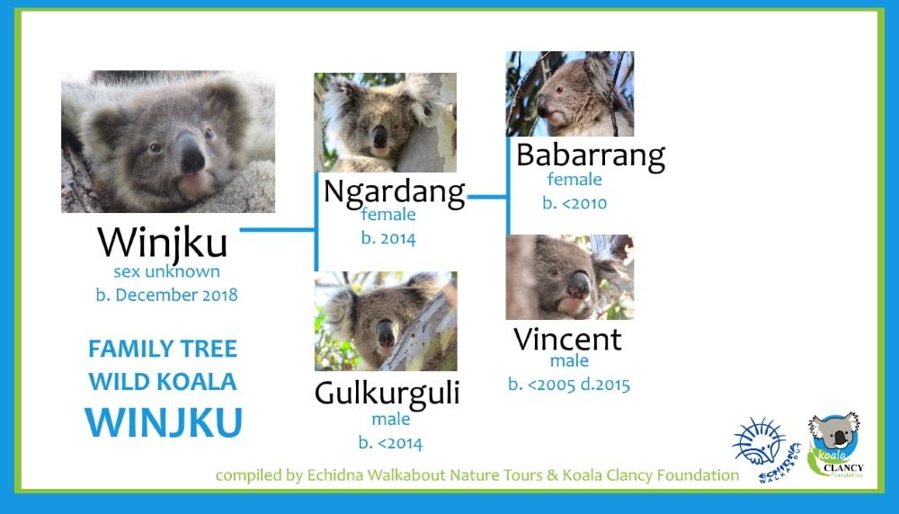baby koala Winjku family tree