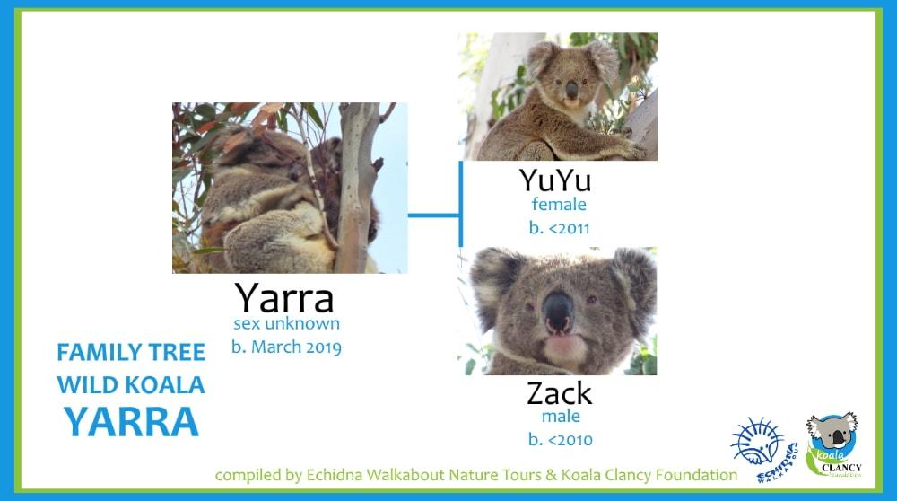 ancestry of wild koala baby