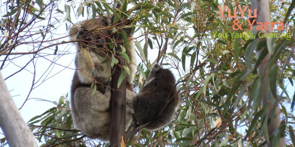 baby koala with mother You Yangs 2019