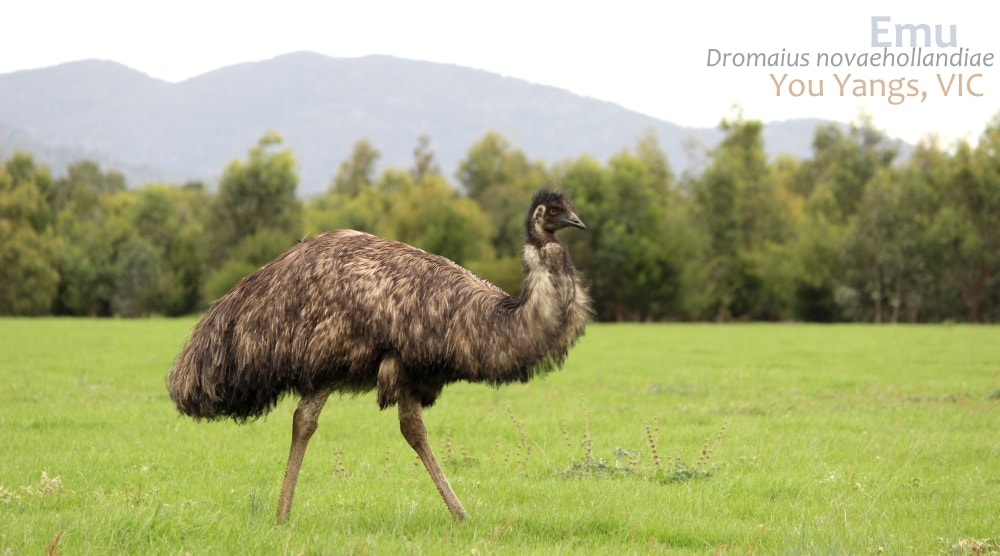 Emu You Yangs