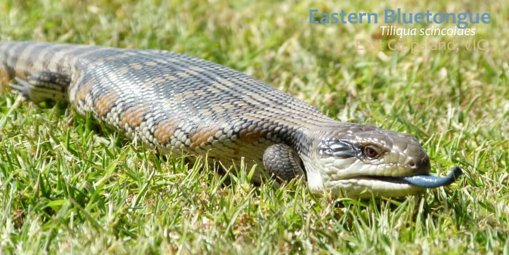Eastern Bluetongue East Gippsland