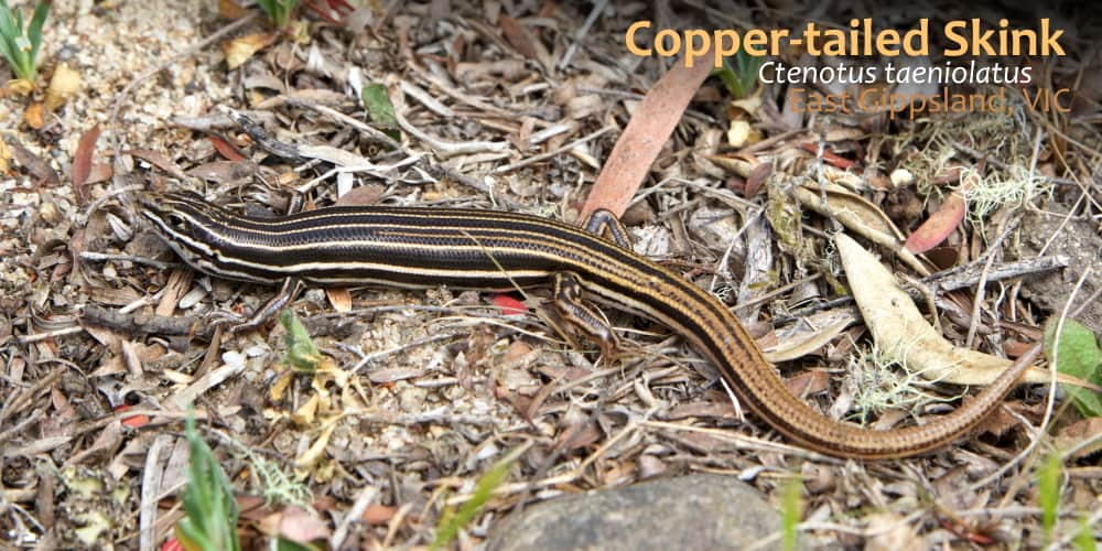 copper-tailed skink east gippsland