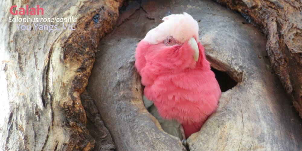 female galah cockatoo at nest