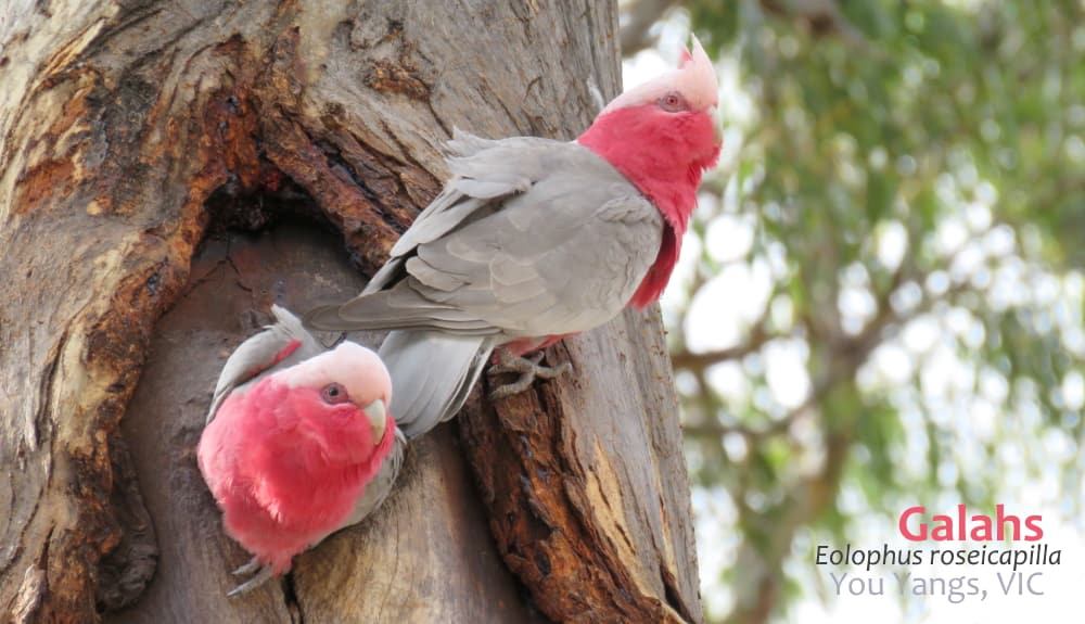 Galah pair at nest hollow Australia