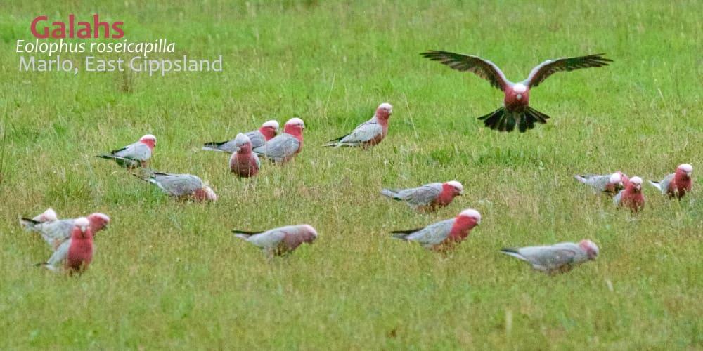flock of galahs feeding