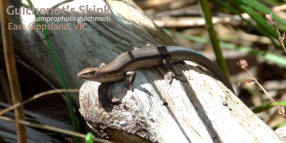 small lizard east gippsland