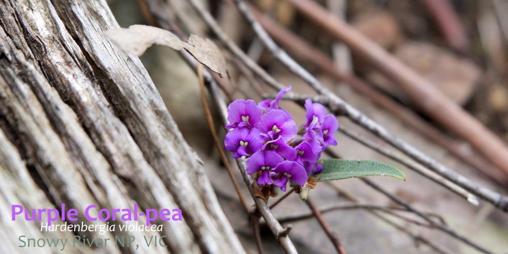 Purple Coral-Pea Hardenbergia violacea flower