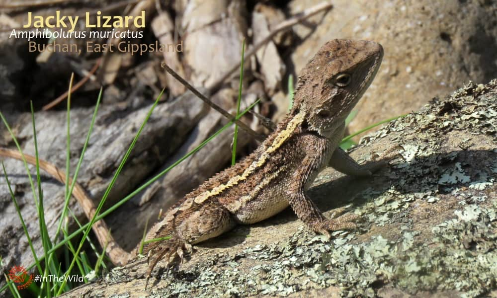 Jacky Lizard east gippsland