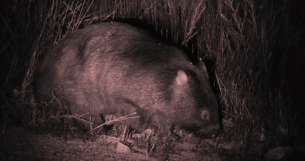 Wombat Wildlife Journey tour list of animals