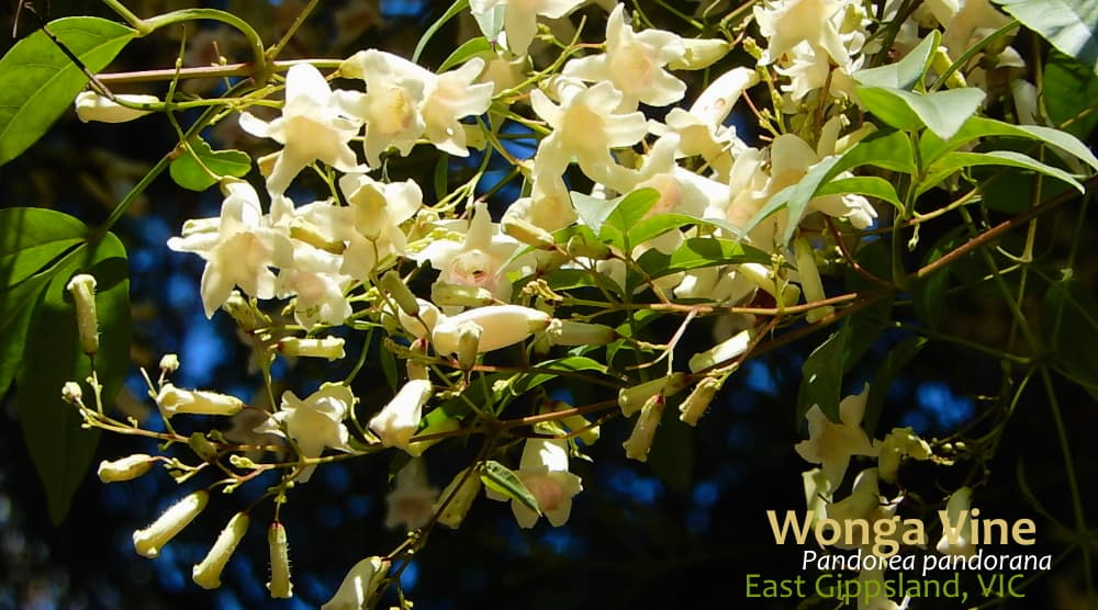 Pandorea pandorana vine flowers East Gippsland