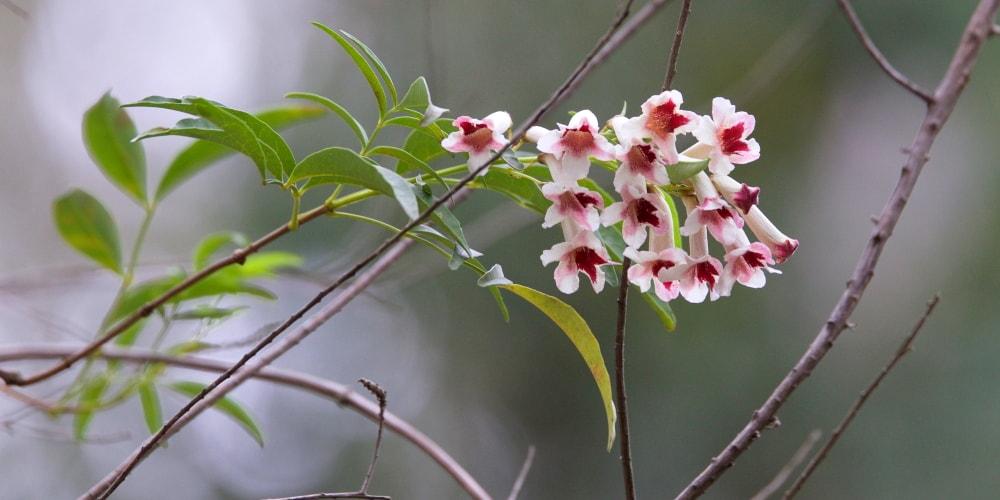 Wonga vine pink flower East Gippsland