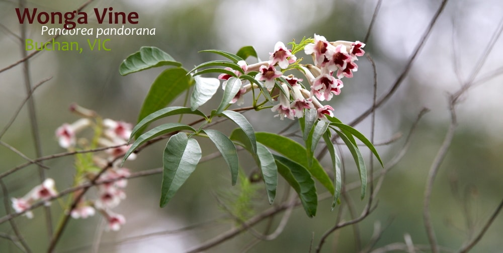 Wonga Vine Pandorea pandorana flower close vine East Gippsland
