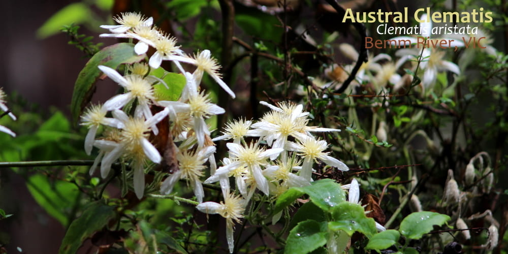Austral Mountain Clematis aristata flower East Gippsland