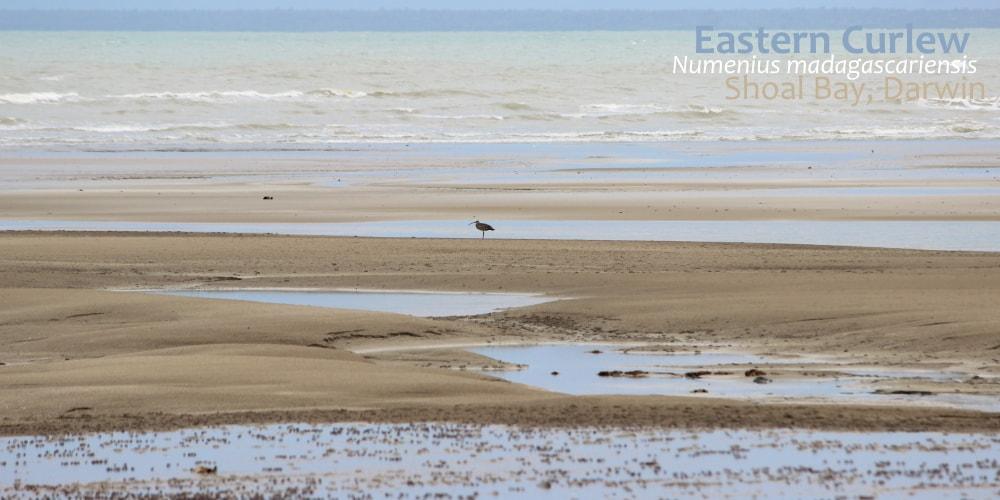 Eastern Curlew Shoal Bay Darwin