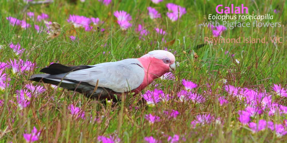 galah on ground Australia