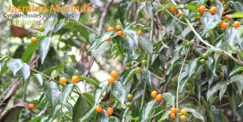 Jasmine Morinda Gynochthodes jasminoidesvine fruit East Gippsland