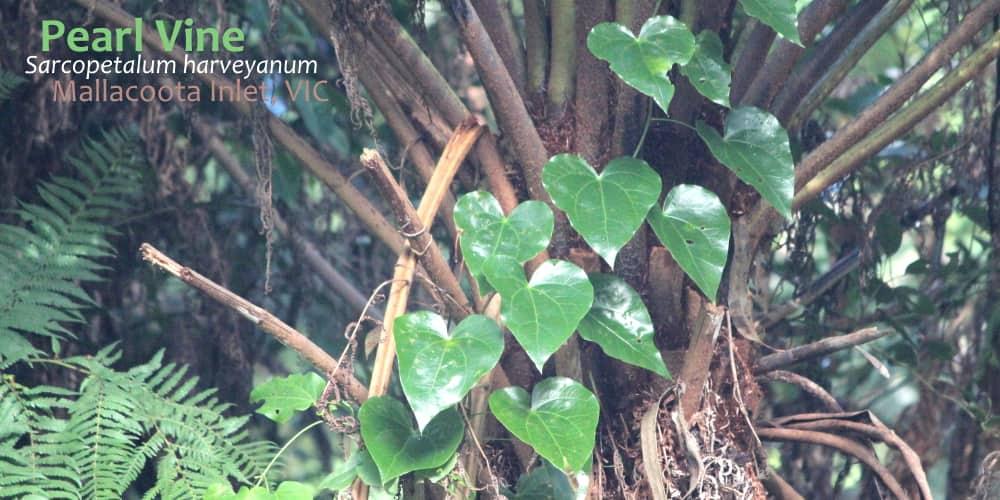 Pearl Vine leaves Sarcopetalum harveyanum Mallacoota