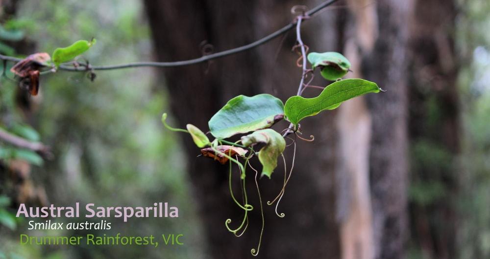 Tendrils on Smilax australis East Gippsland