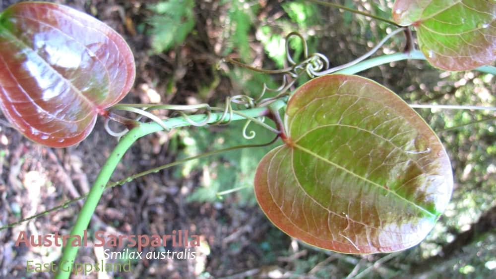 Austral Sarsparilla Smilax australis new leaves Victoria