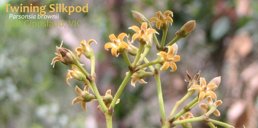 Twining Silkpod Parsonsia brownii flower East Gippsland