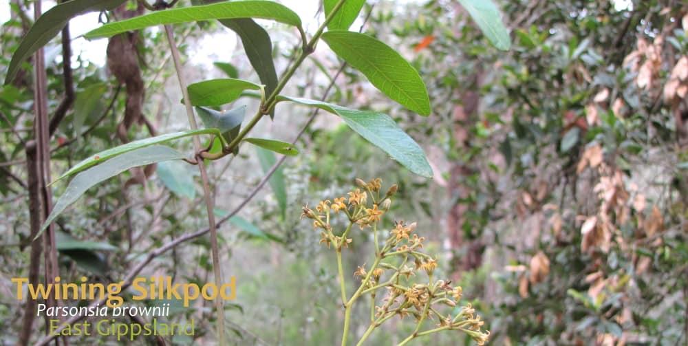Twining Silkpod Parsonsia brownii leaves flower Victoria