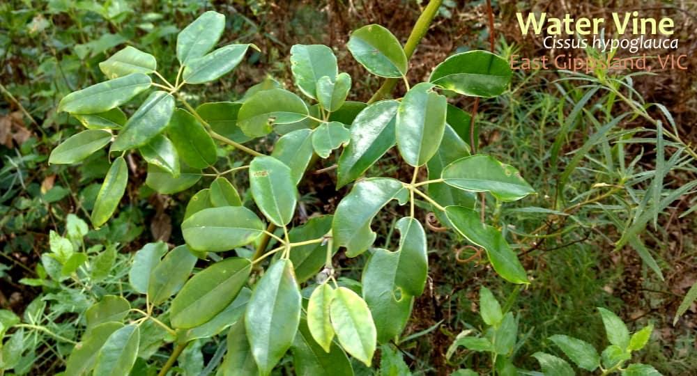 Cissus hypoglauca vine leaves