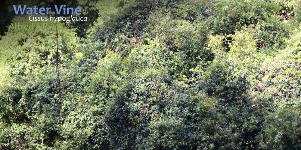 Water Vine Cissus hypoglauca fruit East Gippsland