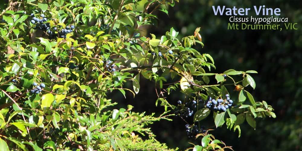 Water Vine Cissus hypoglauca fruit close East Gippsland
