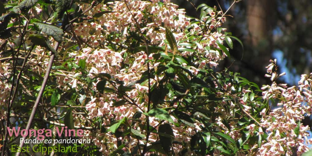 Wonga Vine Pandorea pandorana flowers East Gippsland