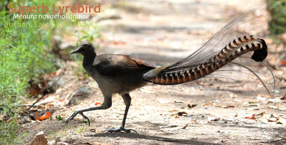 Superb Lyrebird bird tour ethics