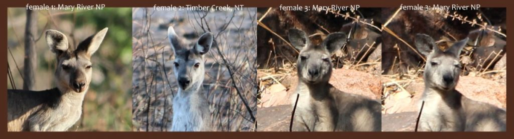 Head comparison Antilopine Kangaroo northern Australia