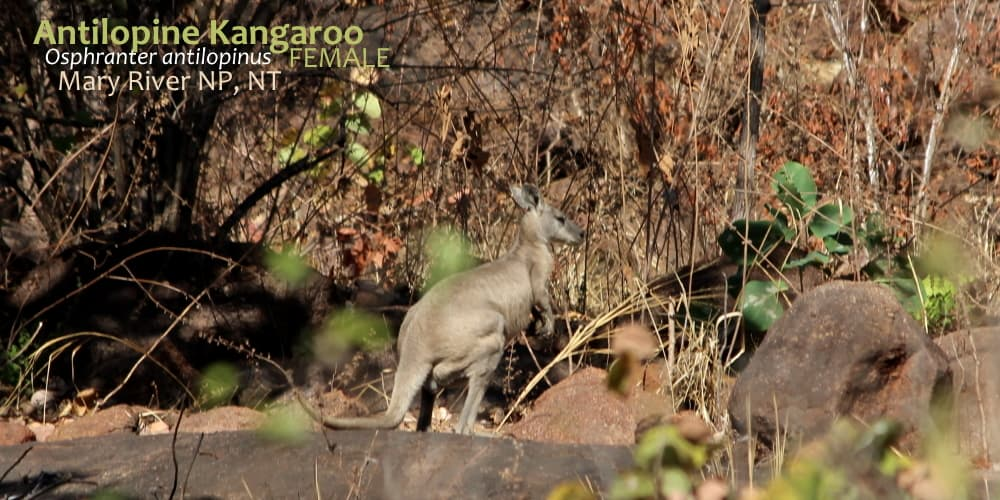 female Antilopine Kangaroo side on