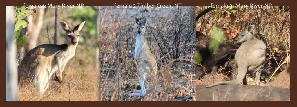 Pelage comparison Antilopine Kangaroo Osphranter antilopinus
